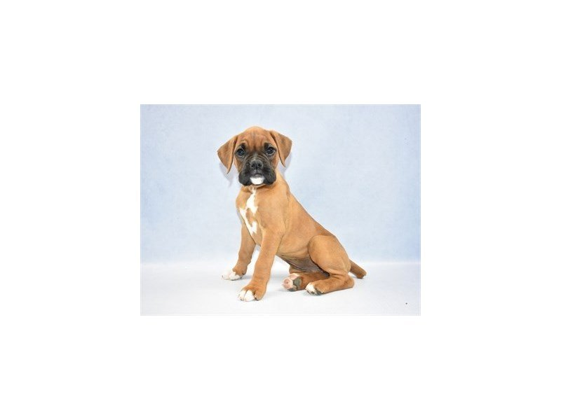 Boxer-Female-Red and White-2341649-Petland Jacksonville Florida