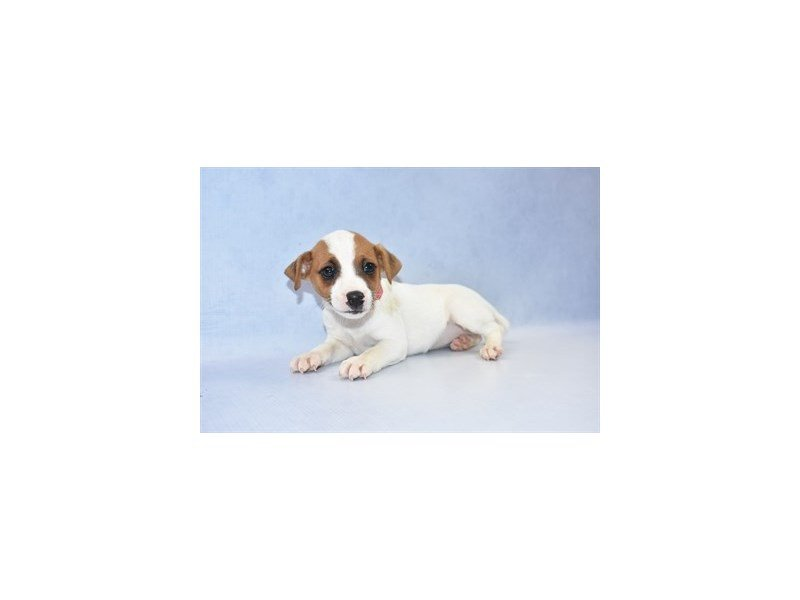 Jack Russell Terrier-Female-White and Red-2347060-Petland Jacksonville Florida