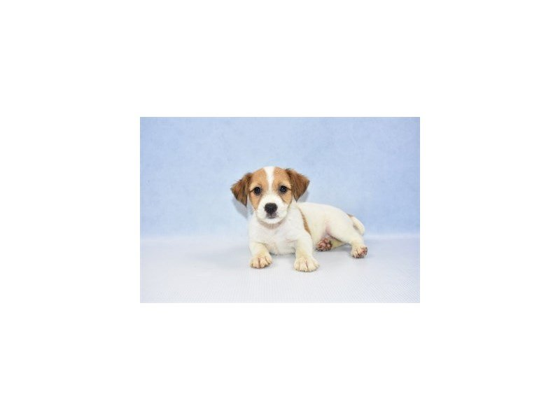 Jack Russell Terrier-Female-White and Red-2374445-Petland Jacksonville Florida