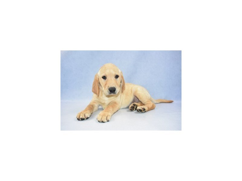 Labrador Retriever-Female-Yellow-2374555-Petland Jacksonville Florida