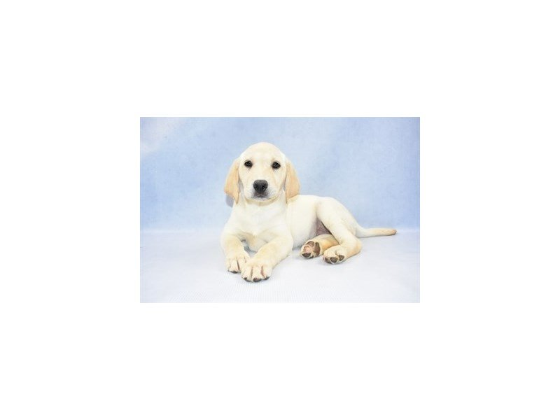 Labrador Retriever-Female-Yellow-2374557-Petland Jacksonville Florida