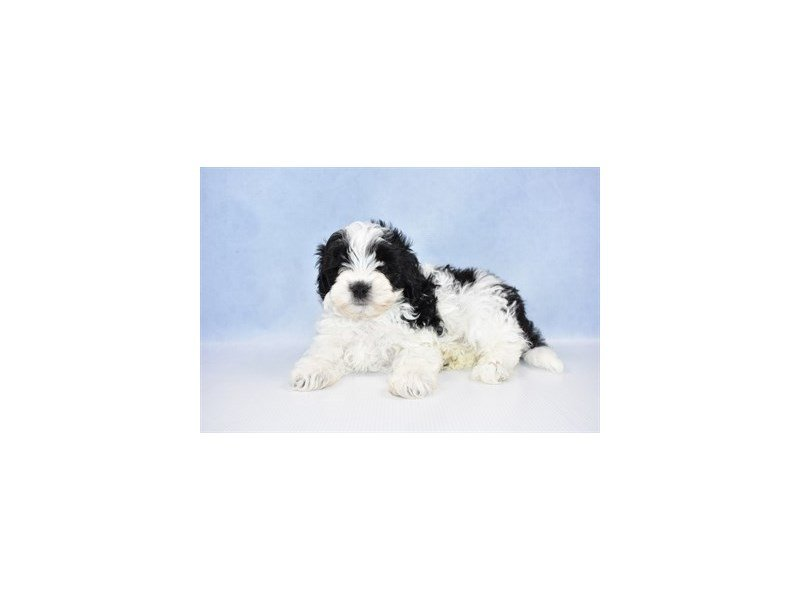 Malti-Poo-Male-Black and White-2380078-Petland Jacksonville Florida