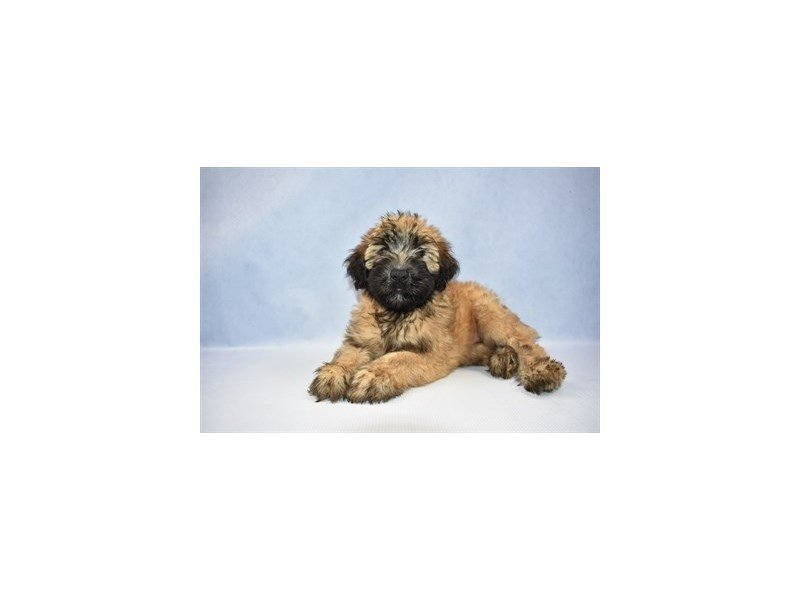 Soft Coated Wheaten Terrier-Female-Wheaten-2380071-Petland Jacksonville Florida