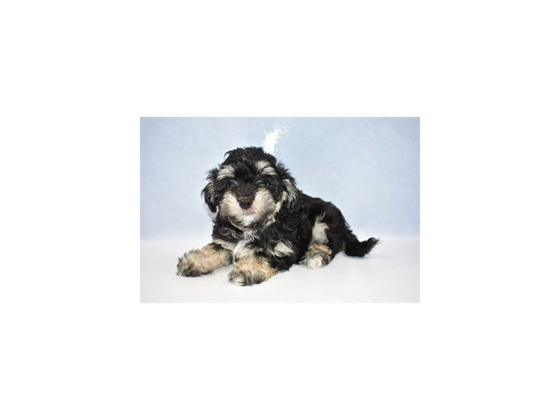Malti-Poo-Male-Black and Cream-2386282-Petland Jacksonville Florida