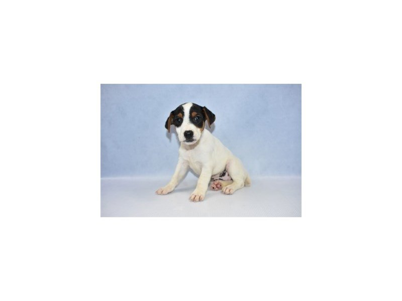 Jack Russell Terrier-Female-Tri Color-2386306-Petland Jacksonville Florida