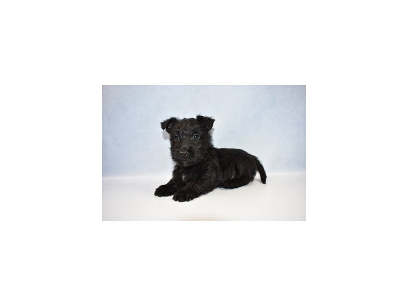 Scottish Terrier-Female-Black-2392077-Petland Jacksonville Florida