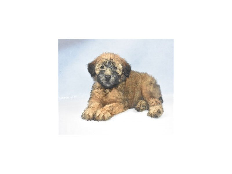 Soft Coated Wheaten Terrier-Male-Wheaten-2403802-Petland Jacksonville Florida