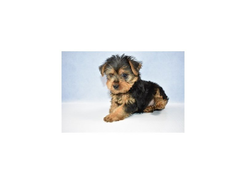 Yorkshire Terrier-Male-Black and Tan-2380076-Petland Jacksonville Florida