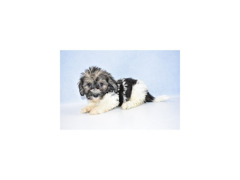 Havanese-Male-Gold Sable-2386291-Petland Jacksonville Florida