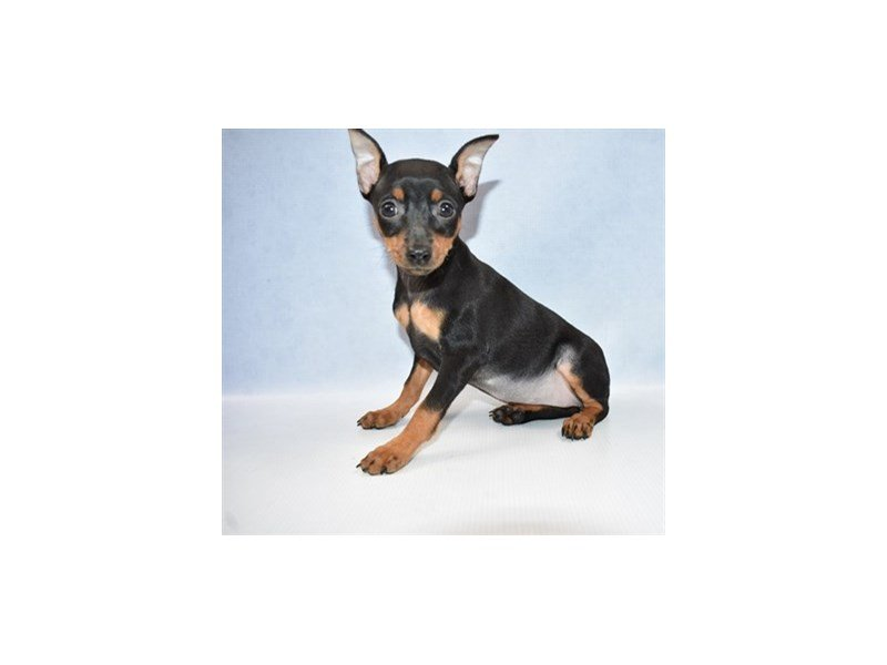 Miniature Pinscher-Female-Black and Tan-2421931-Petland Jacksonville Florida