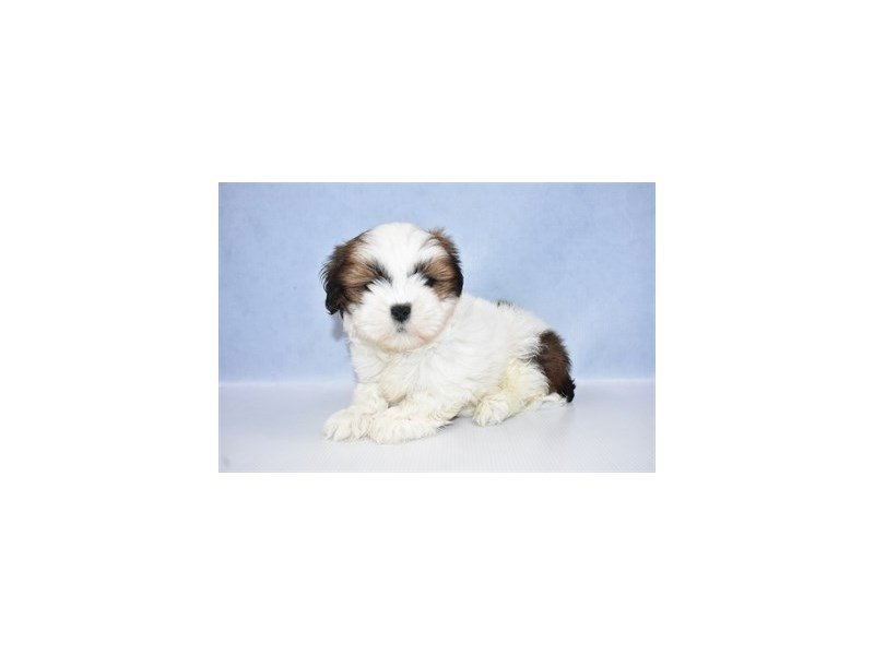 Lhasa Apso-Female-Red Gold-2428191-Petland Jacksonville Florida