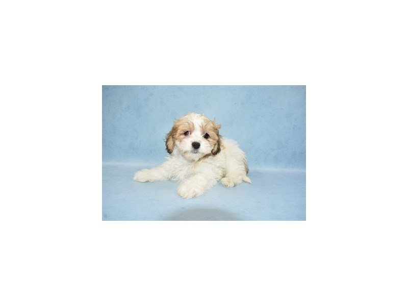 Teddy Bear-Female-Gold and White-2444713-Petland Jacksonville Florida