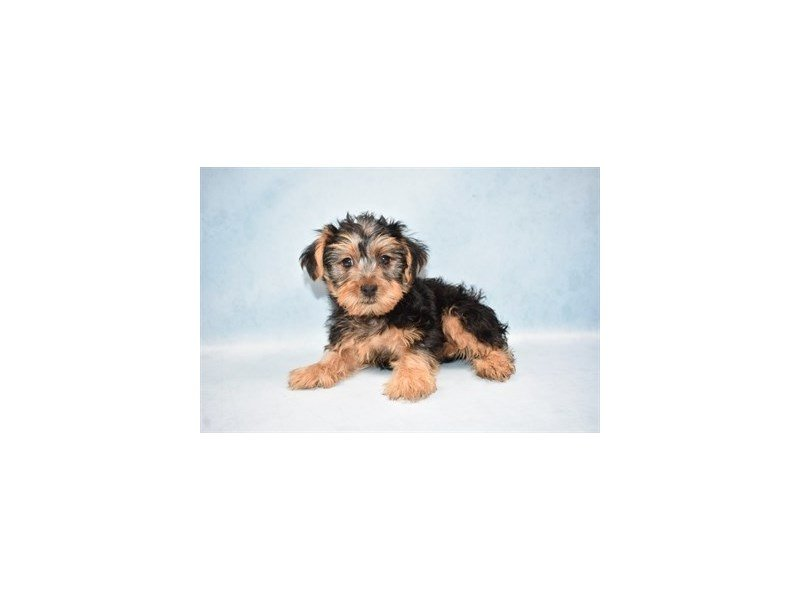 Yorkshire Terrier-Male-Black and Tan-2458924-Petland Jacksonville Florida