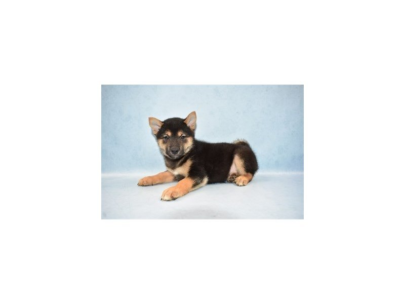 Shiba Inu-Male-Black and Tan-2464981-Petland Jacksonville Florida