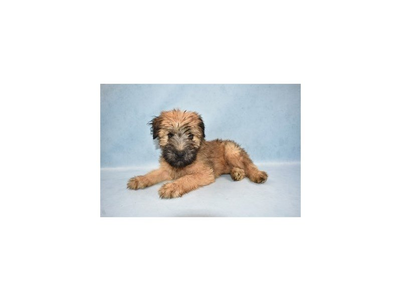 Soft Coated Wheaten Terrier-Female-Wheaten-2471099-Petland Jacksonville Florida