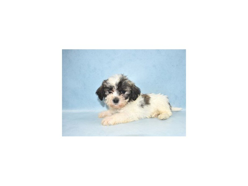 Teddy Bear-Male-Gold and White-2498240-Petland Jacksonville Florida