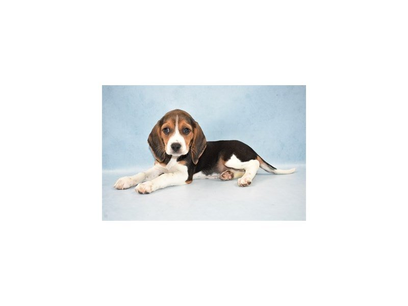 Beagle-Female-Black Fawn and White-2504581-Petland Jacksonville Florida
