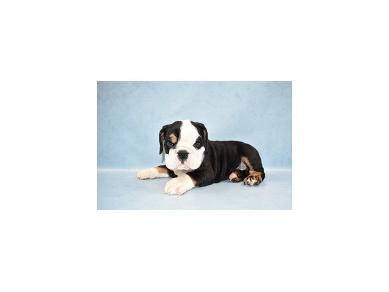 English Bulldog-Male-Black Red and White-2465009-Petland Jacksonville Florida