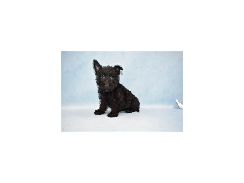 Scottish Terrier-Female-Black-2465026-Petland Jacksonville Florida