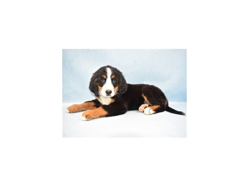 Bernese Mountain Dog-Female-Black Rust and White-2511199-Petland Jacksonville Florida