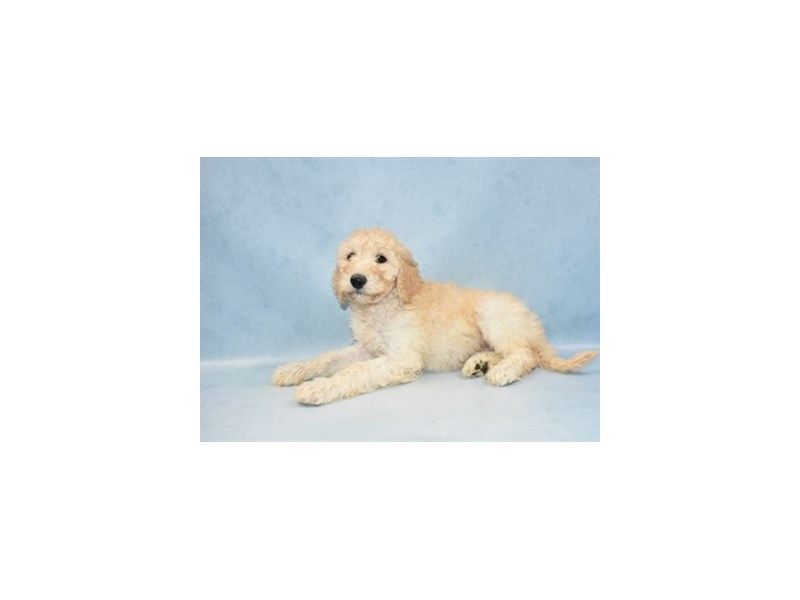 Goldendoodle 2nd Gen-Female-Golden-2517832-Petland Jacksonville Florida