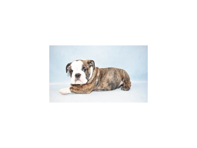 English Bulldog-Male-Brindle and White-2517908-Petland Jacksonville Florida