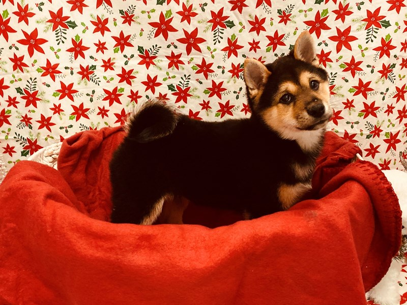 Shiba Inu-Male-Black and Tan-2537768-Petland Jacksonville Florida