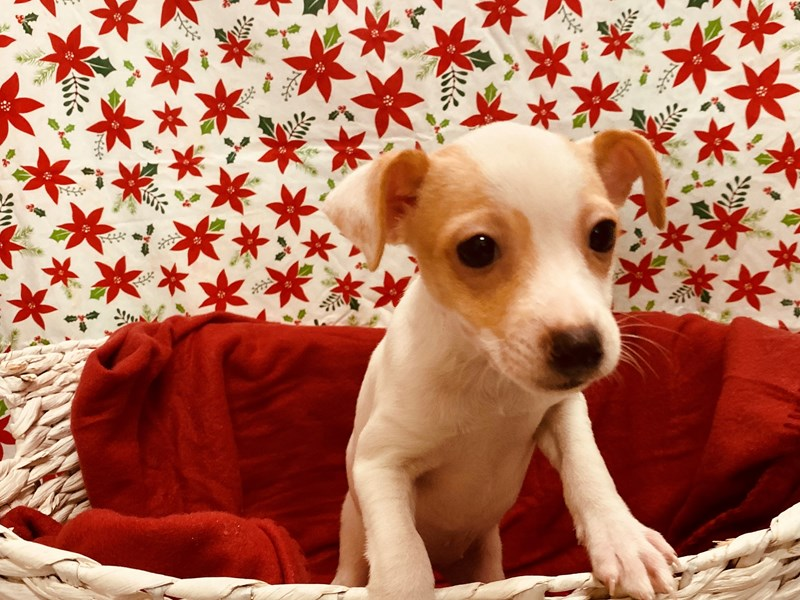 Toy Fox Terrier-Female-White and Tan-2537744-Petland Jacksonville Florida