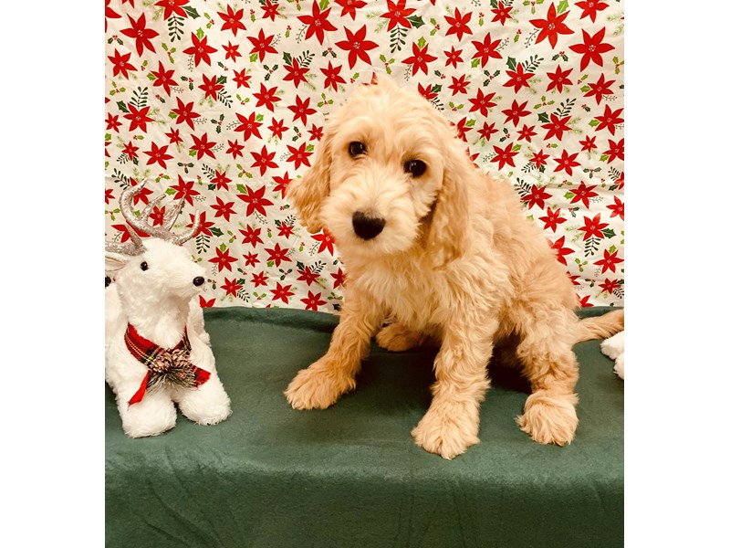 Goldendoodle 2nd Gen-Female-Golden-2544625-Petland Jacksonville Florida