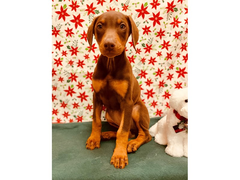 Doberman Pinscher-Female-Red and Rust-2555239-Petland Jacksonville Florida