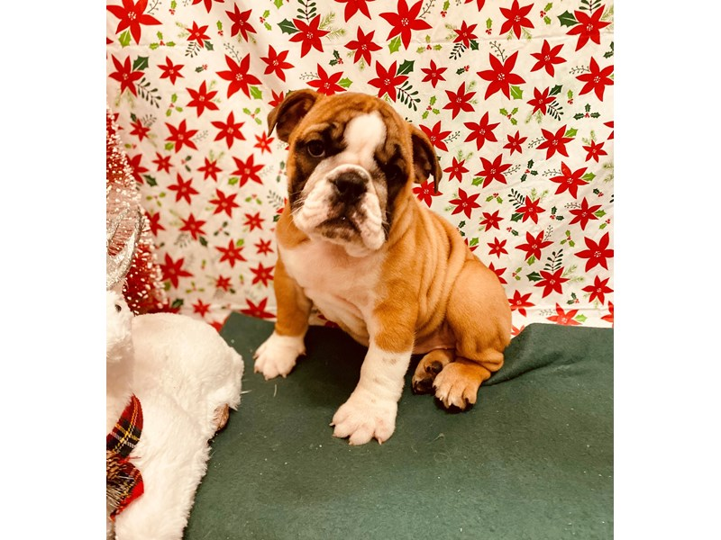 English Bulldog-Female-Red and White-2562671-Petland Jacksonville Florida