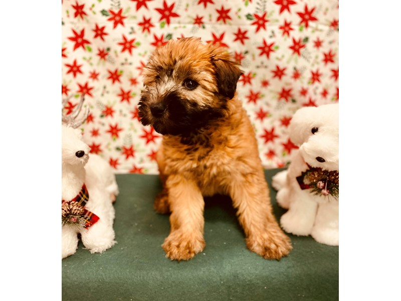Soft Coated Wheaten Terrier-Female-Wheaten-2562661-Petland Jacksonville Florida