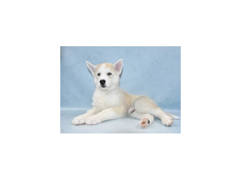 Siberian Husky-Male-Sable and White-2568689-Petland Jacksonville Florida