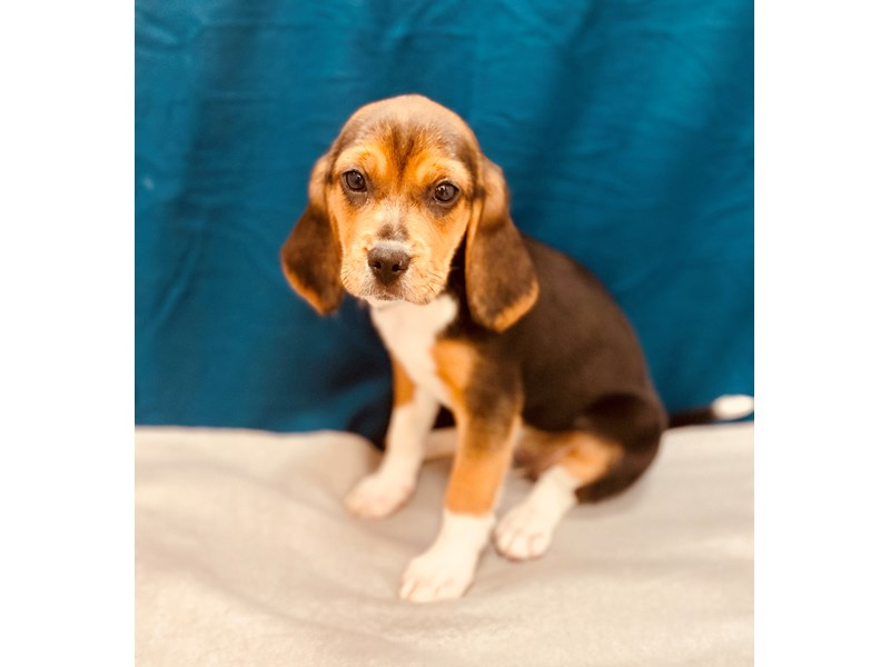 Beagle-Female-Black White and Tan-2580952-Petland Jacksonville Florida