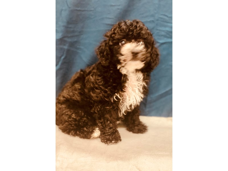 Bichon Poo-DOG-Female-Black-2581031-Petland Jacksonville Florida