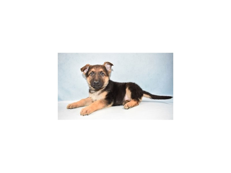 German Shepherd-Male-Black and Tan-2597260-Petland Jacksonville Florida