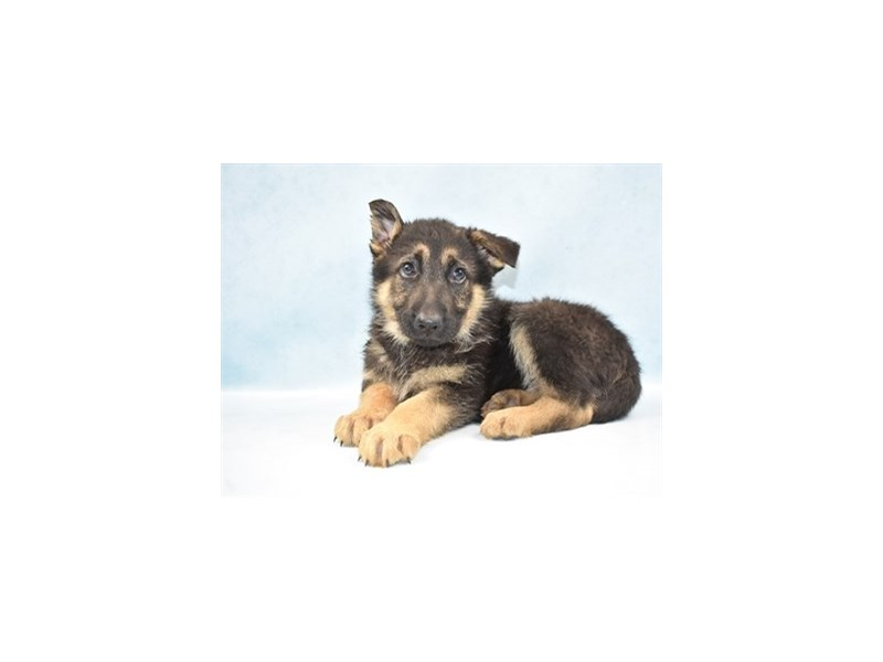German Shepherd-Male-Black and Tan-2605138-Petland Jacksonville Florida