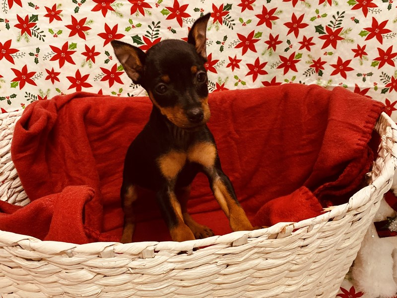 Miniature Pinscher-Female-Black and Tan-2537697-Petland Jacksonville Florida