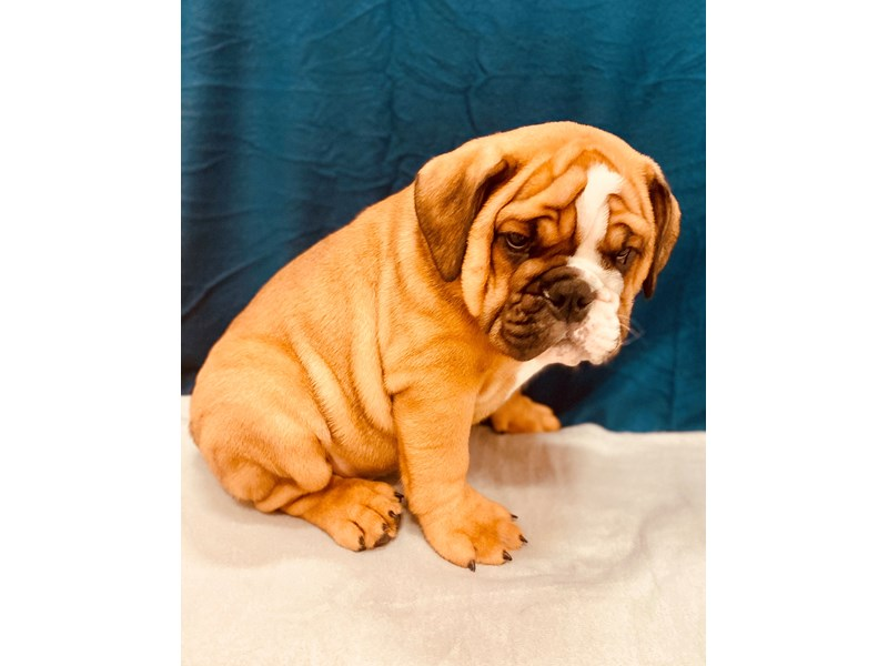 English Bulldog-Male-Red-2581007-Petland Jacksonville Florida