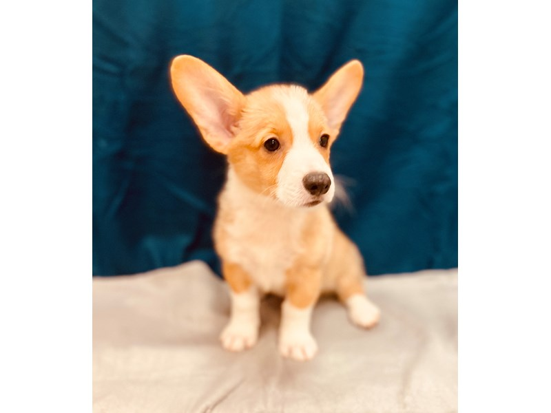 Pembroke Welsh Corgi-Male-Red-2581114-Petland Jacksonville Florida