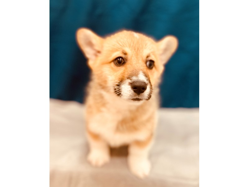 Pembroke Welsh Corgi-Female-Sable-2581128-Petland Jacksonville Florida