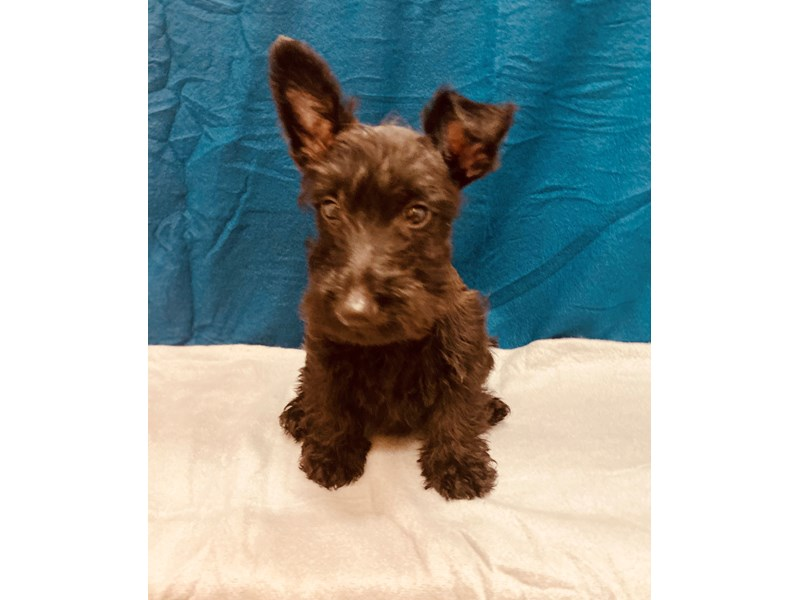 Scottish Terrier-Female-Black-2580941-Petland Jacksonville Florida