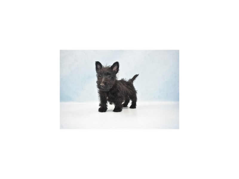 Scottish Terrier-Female-Black-2589798-Petland Jacksonville Florida