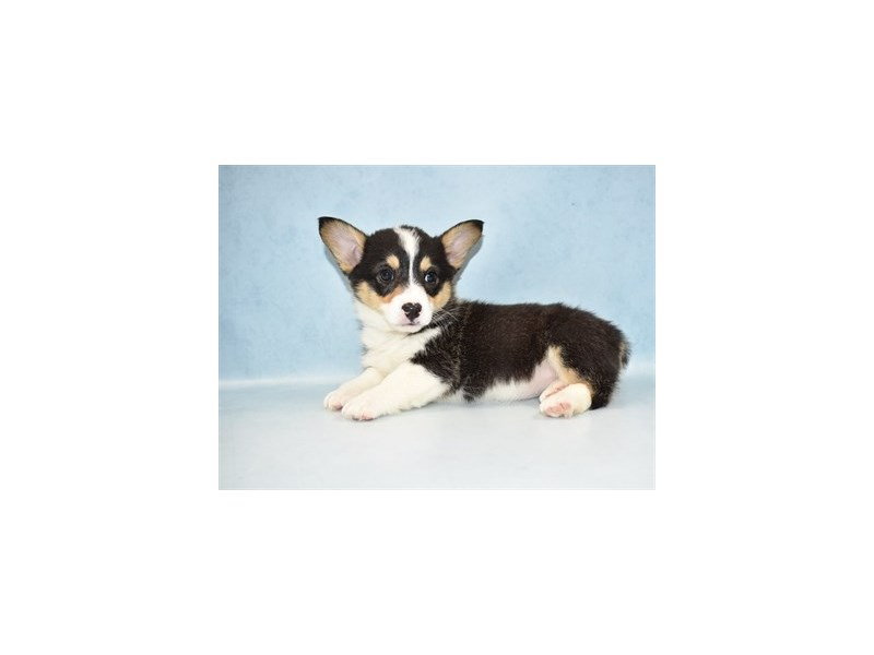 Pembroke Welsh Corgi-Female-Black and Tan-2597403-Petland Jacksonville Florida
