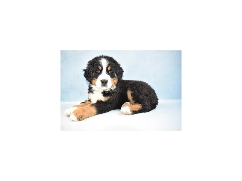 Bernese Mountain Dog-Female-Black Rust and White-2605018-Petland Jacksonville Florida
