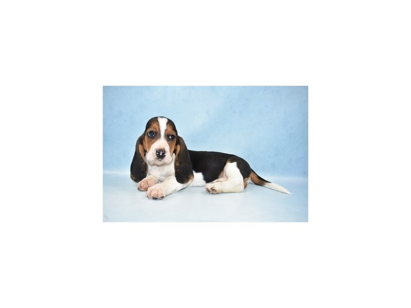 Basset Hound-Female-Black Brown and White-2605041-Petland Jacksonville Florida
