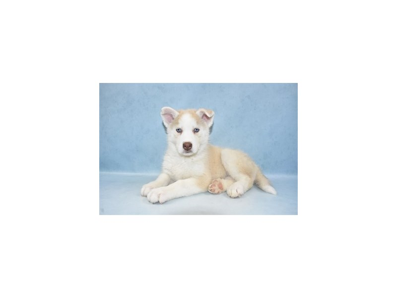 Siberian Husky-Female-Tan and White-2611675-Petland Jacksonville Florida