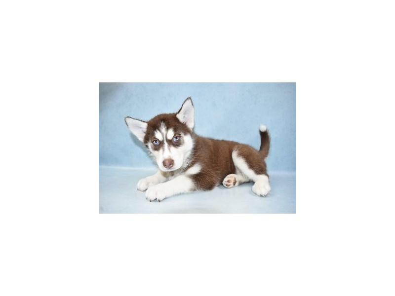 Siberian Husky-Female-Red and White-2611678-Petland Jacksonville Florida