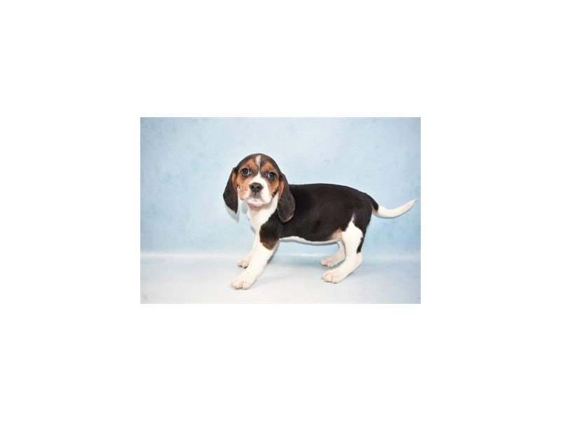 Beagle-Female-Black Tan and White-2625844-Petland Jacksonville Florida
