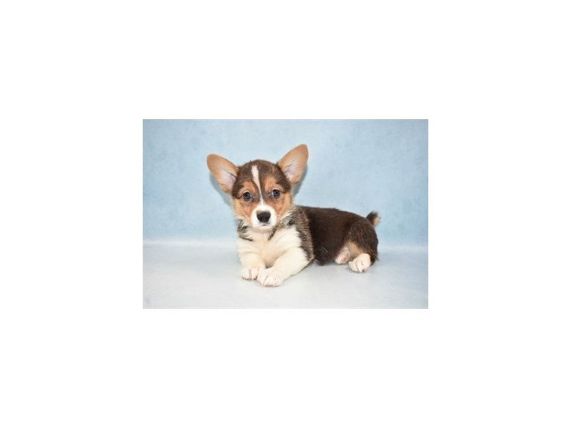Pembroke Welsh Corgi-Female-Black and Tan-2625913-Petland Jacksonville Florida